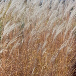 miscanthus_purpurascens_ 1